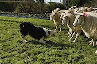 Sheepdog working a small flock of sheep. Stock Photo - Premium Royalty-Freenull, Code: 6118-07521763