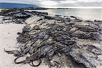 Adult Galapagos marine iguanas (Amblyrhynchus cristatus) basking on Fernandina Island, Galapagos Islands, UNESCO World Heritage Site, Ecuador, South America r Stock Photo - Premium Rights-Managed, Artist: Robert Harding Images, Code: 841-07523347