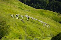 Shepherd with mountain sheep in the Pyrenees National Park, Parc National des Pyrenees Occident, France Stock Photo - Premium Rights-Managednull, Code: 841-07523735