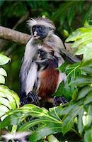 Zanzibar Red Colobus monkey with young, one of Africa's rarest primates Stock Photo - Premium Rights-Managed, Artist: Robert Harding Images, Code: 841-07523845