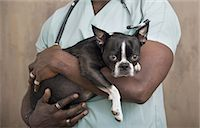 Black animal doctor with Boston Terrier. Stock Photo - Premium Royalty-Freenull, Code: 6106-07539308