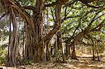 Ancient 300-year-old Banyan Trees in Ranthambhore National Park, Rajasthan, Northern India Stock Photo - Premium Rights-Managed, Artist: Robert Harding Images, Code: 841-07540419