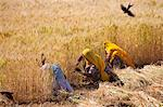 Barley crop being harvested by local agricultural workers in fields at Nimaj, Rajasthan, Northern India Stock Photo - Premium Rights-Managed, Artist: Robert Harding Images, Code: 841-07540449