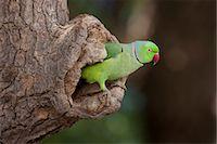 Indian Rose-Ringed Parakeet, Psittacula krameri, in tree hole in village of Nimaj, Rajasthan, Northern India Stock Photo - Premium Rights-Managednull, Code: 841-07540459