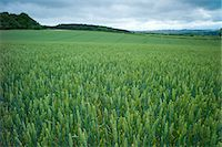 space - Wheat field cereal crop in The Cotswolds, Oxfordshire, UK Stock Photo - Premium Rights-Managednull, Code: 841-07540489