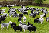 farming (raising livestock) - Herdwick sheep and lambs at Westhead Farm by Thirlmere in the Lake District National Park, Cumbria, UK Stock Photo - Premium Rights-Managednull, Code: 841-07540535