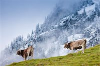 Traditional alpine cattle in the Bavarian Alps, Germany Stock Photo - Premium Rights-Managed, Artist: Robert Harding Images, Code: 841-07540659