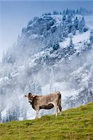 Traditional alpine cattle in the Bavarian Alps, Germany Stock Photo - Premium Rights-Managednull, Code: 841-07540660