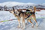 Alaskan Huskies eagerly wait at Villmarkssenter wilderness adventure centre on Kvaloya Island, Tromso in Arctic Circle Northern Norway