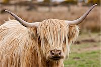 Blonde shaggy coated Highland cow with curved horns on Bodmin Moor, Cornwall Stock Photo - Premium Rights-Managednull, Code: 841-07540743