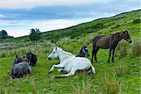 Connemara ponies on hill slope, Connemara, County Galway, Ireland Stock Photo - Premium Rights-Managednull, Code: 841-07540844