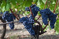 Merlot grapes on ancient vine at Chateau Lafleur at Pomerol in the Bordeaux region of France Stock Photo - Premium Rights-Managednull, Code: 841-07540867