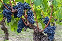 Ripe Cabernet Franc grapes on ancient vine in sandy soil at Chateau Cheval Blanc in St Emilion in the Bordeaux region of France Stock Photo - Premium Rights-Managednull, Code: 841-07540870