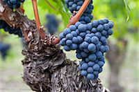Ripe Cabernet Franc grapes on ancient vine in St Emilion in the Bordeaux region of France Stock Photo - Premium Rights-Managed, Artist: Robert Harding Images, Code: 841-07540871
