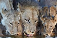 Lion (Panthera leo) and two cubs drinking, Kgalagadi Transfrontier Park, encompassing the former Kalahari Gemsbok National Park, South Africa, Africa Stock Photo - Premium Royalty-Freenull, Code: 6119-07541554