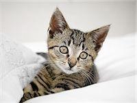 Kitten relaxing in blankets Stock Photo - Premium Royalty-Freenull, Code: 6113-07543090