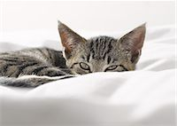 Kitten peering over blankets Stock Photo - Premium Royalty-Freenull, Code: 6113-07543092