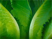 Extreme close up of romaine lettuce leaves Stock Photo - Premium Royalty-Freenull, Code: 6113-07565163