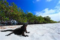 release - Iguana Stock Photo - Premium Rights-Managednull, Code: 859-07566267