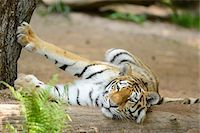 Close-up portrait of a Siberian tiger (Panthera tigris altaica) lying on ground in a zoo in spring, Bavaria, Germany Stock Photo - Premium Rights-Managednull, Code: 700-07584673
