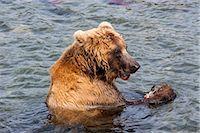Kamchatka brown bear (Ursus arctos beringianus) eating salmon, Kurile Lake, Kamchatka, Russia, Eurasia Stock Photo - Premium Royalty-Freenull, Code: 6119-07587519