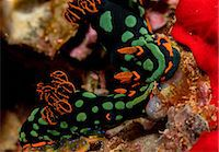 people mating - Pair of nudibranchs. Stock Photo - Premium Royalty-Freenull, Code: 614-07587571