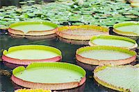 Lily pads, Botanic Gardens, Singapore, Southeast Asia, Asia Stock Photo - Premium Rights-Managednull, Code: 841-07590115