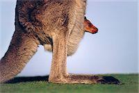 Eastern gray kangaroo with infant in pouch, Macropus giganteus, Murramarang National Park, Australia Stock Photo - Premium Rights-Managednull, Code: 878-07590613