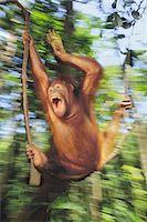 swing (sports) - Orangutan juvenile swinging, Pongo pygmaeus, Sepilok Reserve, Sabah, Borneo Stock Photo - Premium Rights-Managednull, Code: 878-07590649