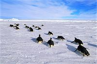 Emperor penguins, Aptenodytes forsteri, tobogganing along the ice in Antarctica Stock Photo - Premium Rights-Managed, Artist: Mint Images, Code: 878-07590737