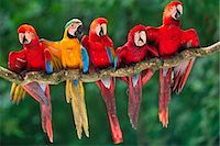 Scarlet macaws, Ara chloroptera, perched with a blue-and-yellow macaw, Ara ararauna, Tambopata National Reserve, Peru Stock Photo - Premium Rights-Managednull, Code: 878-07590776