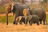 Elephant family, Loxodonta africana, Luangwa Valley, Zambia Stock Photo - Premium Rights-Managed, Artist: Mint Images, Code: 878-07590809