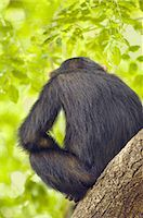 Chimpanzee, Pan Troglodytes verus in Senegal Stock Photo - Premium Rights-Managed, Artist: Mint Images, Code: 878-07590869