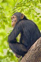 Chimpanzee, Pan Troglodytes verus in Senegal Stock Photo - Premium Rights-Managednull, Code: 878-07590870