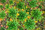 Native succulent plants, Auckland Island, New Zealand Stock Photo - Premium Rights-Managed, Artist: Mint Images, Code: 878-07590959