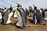 King penguins incubating eggs, Aptenodytes patagonicus, Falkland Islands Stock Photo - Premium Rights-Managed, Artist: Mint Images, Code: 878-07591007