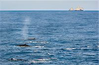 Fin whales surfacing, Balaenoptera physalus, South Georgia Island Stock Photo - Premium Rights-Managed, Artist: Mint Images, Code: 878-07591151