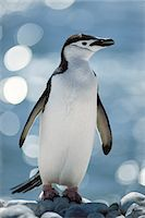 Chinstrap penguin, Pygoscelis antarctica, South Georgia Island Stock Photo - Premium Rights-Managed, Artist: Mint Images, Code: 878-07591205