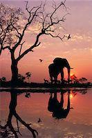 African elephant at dawn, Loxodonta africana, Chobe National Park, Botswana Stock Photo - Premium Rights-Managed, Artist: Mint Images, Code: 878-07591211