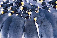 extreme terrain - Emperor penguins huddling, Aptenodytes forsteri, Weddell Sea, Antarctica Stock Photo - Premium Rights-Managednull, Code: 878-07591216