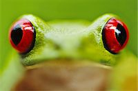 Red-eyed tree frog, Agalychnis callidryas, Barro Colorado Island, Panama Stock Photo - Premium Rights-Managednull, Code: 878-07591232