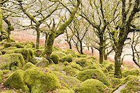 dartmoor national park - Wistman's Wood in Dartmoor National Park. Stock Photo - Premium Royalty-Freenull, Code: 6106-07594064