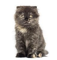Highland fold kitten looking at the camera Stock Photo - Premium Royalty-Freenull, Code: 6106-