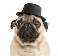 pvg - Close-up of a Pug puppy wearing a top hat Stock Photo - Premium Royalty-Freenull, Code: 6106-07594623