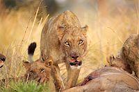 Lioness - Panthera leo - feeding on kudu carcase Stock Photo - Premium Royalty-Freenull, Code: 649-07596558