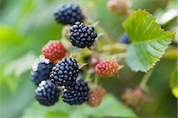 Ripe and unripe blackberries on the bush Stock Photo - Premium Royalty-Freenull, Code: 659-07597483