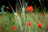 A field of wheat with poppies (section) Stock Photo - Premium Royalty-Freenull, Code: 659-07597848