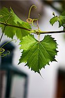 Vine foliage outside a wine bar Stock Photo - Premium Royalty-Freenull, Code: 659-07598932