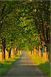 Chestnut tree-lined road in early morning light, Nature Reserve Moenchbruch, Moerfelden-Walldorf, Hesse, Germany, Europe