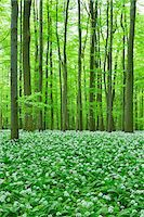 spring flowers - European Beech Forest (Fagus sylvatica) with Ramson (Allium ursinum), Hainich National Park, Thuringia, Germany, Europe Stock Photo - Premium Royalty-Free, Artist: Michael Breuer, Code: 600-07599875